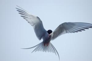 Arctic-Tern-7-1024x680